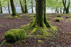 Buchen-Bäume im Frühjahr Stockfotos