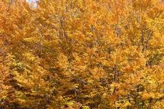 Buchen im Herbst, in den Niederlassungen und in den Blättern Stockbild