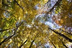 Buchen- und Kiefernlaubwald während des sonnigen Tages des Herbstes, vibrierende Farben der Blätter auf Niederlassungen, Baum krö lizenzfreies stockbild