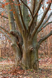 Buchenbaum Stockbilder