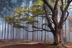Buchenbaum im nebelhaften Wald während des Herbstes Stockbild