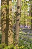 Buchenbaum im sonnigen blühenden Wald stockbild