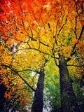Buchenbaum lässt das Werden gelb im Fall lizenzfreies stockbild
