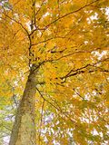 Buchenbaum lässt das Werden gelb im Fall lizenzfreie stockfotografie