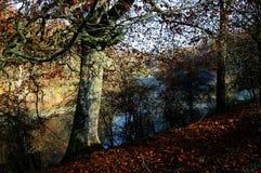 Buchenbaum in Sapperton, Gloucestershire Stockbild