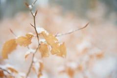 Buchenbaum-Winterniederlassung Abschluss oben der Buche verlässt mit hoarfost im Winterwald Stockfotografie