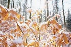 Buchenbaum-Winterniederlassung Abschluss oben der Buche verlässt mit hoarfost im Winterwald Lizenzfreie Stockfotos