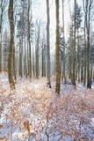 Buchenbaum-Winterniederlassung Abschluss oben der Buche verlässt mit hoarfost im Winterwald Stockfotos