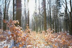 Buchenbaum-Winterniederlassung Abschluss oben der Buche verlässt mit hoarfost im Winterwald Lizenzfreies Stockbild