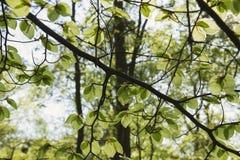 Buchenbaumblätter im Frühjahr Lizenzfreies Stockbild