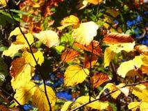 Buchenbaumblätter im Herbst lizenzfreie stockbilder