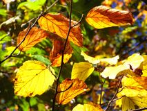 Buchenbaumblätter im Herbst lizenzfreie stockfotos