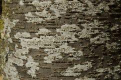 Buchenbaumrinde mit brauner und weißer Beschaffenheit mit grünem Moos und Lizenzfreies Stockfoto