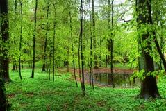 Buchenholz im Frühjahr Stockbild