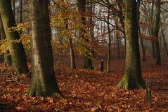 Buchenholz im Herbst Stockbild