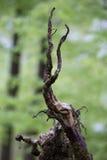 Buchenholzbaum des Frühlinges wurzelt grüner Hintergrund Stockbilder