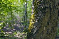 Buchenwald, Waldgrün 9 Stockfotografie