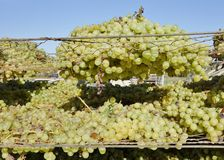 Heaped Bunches Of Sun Muscat Grapes. Royalty Free Stock Photo
