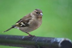 Buchfink chaffinch royalty free stock images