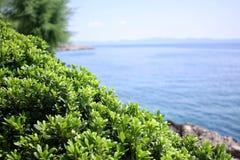 Buchsbaum, boxus auf der Mittelmeerküste Stockbild