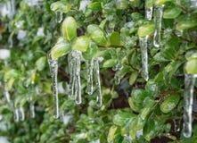 Buchsbaum Bush eingehüllt in Eis - 2 stockfoto