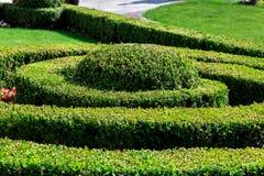Buchsbaum ist eine Hecke, die in Form einer Spirale gebildet wird und gemacht ist stockbild