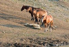 Bucht-Hengst mit Herde von wilden Pferden am waterhole in der Pryor-Gebirgswildes Pferdestrecke in Montana USA Lizenzfreie Stockfotografie