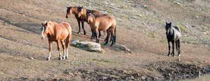Bucht-Hengst mit Herde von wilden Pferden am waterhole in der Pryor-Gebirgswildes Pferdestrecke in Montana USA Stockfotografie
