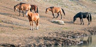 Bucht-Hengst mit Herde von wilden Pferden am waterhole in der Pryor-Gebirgswildes Pferdestrecke in Montana USA Lizenzfreie Stockfotos