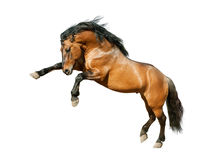 Bucht lusitano Pferd lokalisiert auf Weiß Lizenzfreie Stockfotos