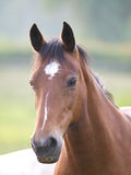 Bucht Pony Headshot Stockfotografie