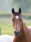 Bucht Pony Headshot Stockfotos