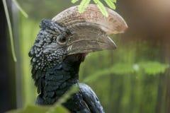 Bucinator Bycanistes Trumpeter hornbill Στοκ φωτογραφία με δικαίωμα ελεύθερης χρήσης