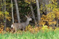 buck δάση ακρών Στοκ φωτογραφία με δικαίωμα ελεύθερης χρήσης