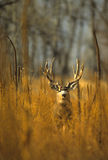 buck μουλάρι ελαφιών Στοκ φωτογραφία με δικαίωμα ελεύθερης χρήσης
