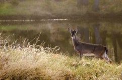 buck παρακολουθημένο ελάφι Στοκ εικόνες με δικαίωμα ελεύθερης χρήσης