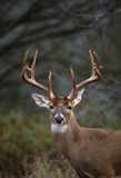 buck πορτρέτο whitetail Στοκ Φωτογραφίες