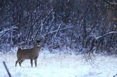 buck χιόνι whitetail Στοκ Εικόνες