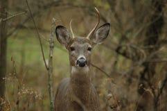 buck детеныши Стоковая Фотография RF