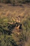 buck пряча whitetail Стоковое фото RF