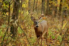 Buck 13 Royalty Free Stock Photos