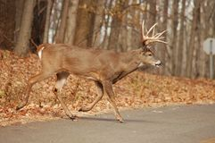 Buck 15 Royalty Free Stock Photos