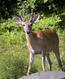Buck. Whitetail buck with its antlers still in velvet stock photography