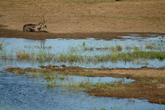 Buck. A bush buck close to a water hole Royalty Free Stock Photography