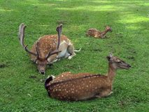Buck. Restful family in one's European Zoo Stock Image