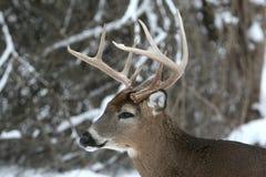 buck 8 punktu stanowisko śniegu whitetail Zdjęcie Stock