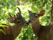 Free Buck And Doe Deer Stock Images - 41001394