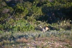 Buck Antelope Doe Running negro imágenes de archivo libres de regalías