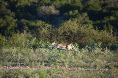 Buck Antelope Doe Running negro imagen de archivo libre de regalías