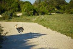 Buck Antelope Doe Running negro imagenes de archivo